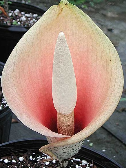 amorphophallus_bulbifer.jpg
