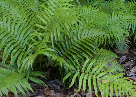 blechnum_cartilagineum.jpg