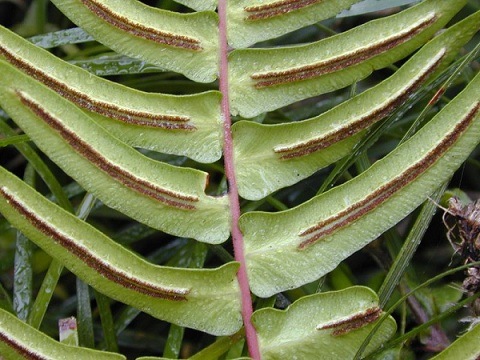 blechnum_occidentale.jpg
