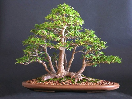 bonsai_esueue.jpg