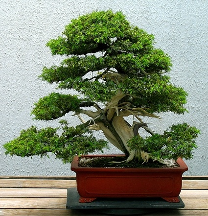 bonsai_kengai.jpg
