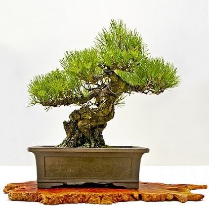 bonsai_moyogi.jpg