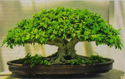 bonsai_neagari.jpg