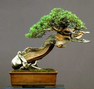 bonsai_sharimiki.jpg