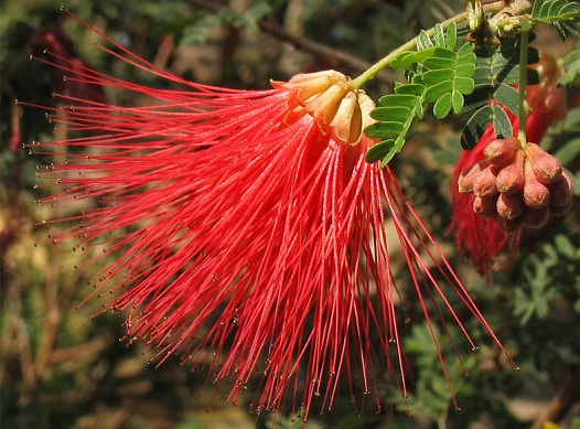 calliandra_californica.jpg