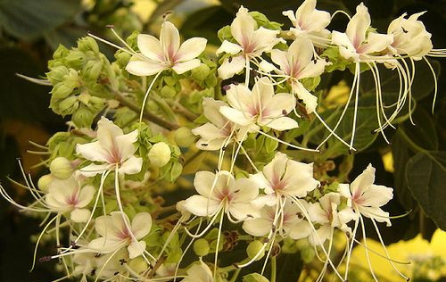 clerodendrum_fragrans.jpg