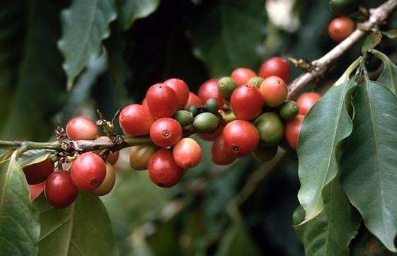 coffea_arabica.jpg