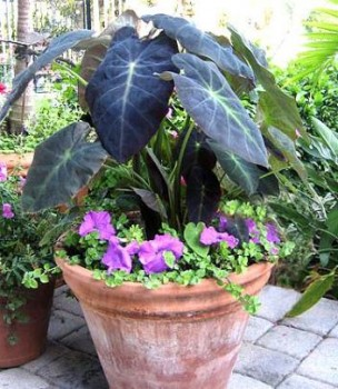 colocasia_esculenta_var_antiquorum.jpg