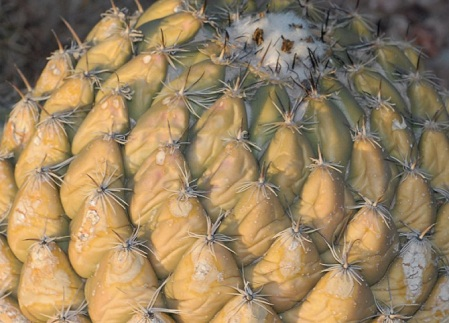 coryphantha_calipensis.jpg