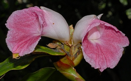 costus_ligularis.jpg