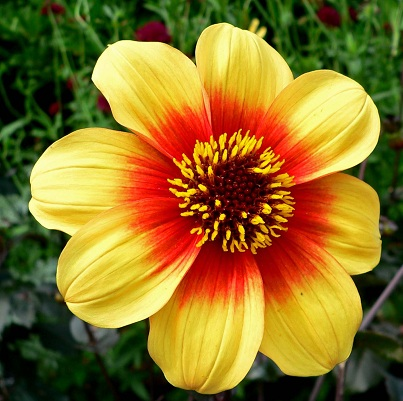 dahlia_variabilis_moonfire.jpg