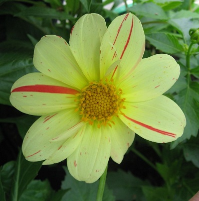 dahlia_variabilis_yellow.jpg