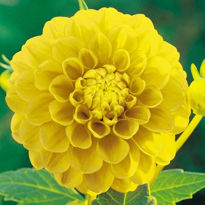 dahlia_variabilis_yellow1.jpg