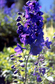 delphinium-black-knight.jpg