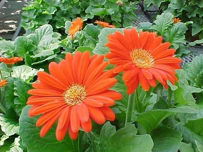 gerbera_jamesonii.jpg