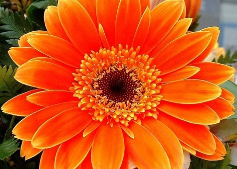 gerbera_jamesonii_orange.jpg