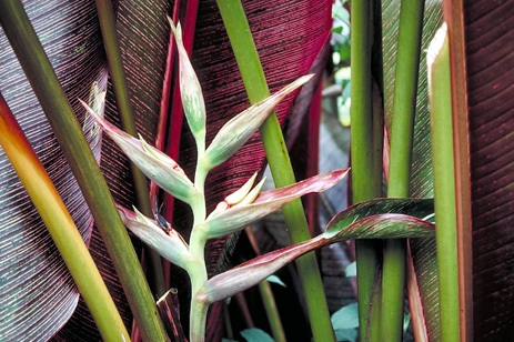 heliconia_indica.jpg