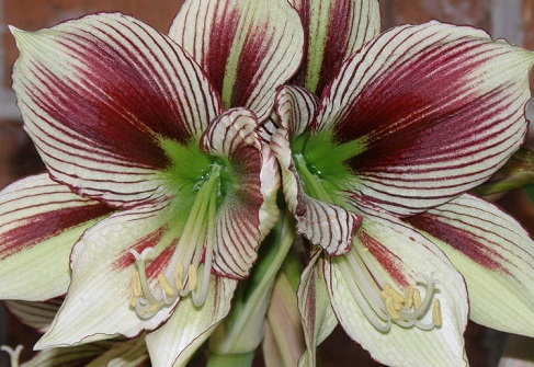 hippeastrum_papilio_butterfly.jpg