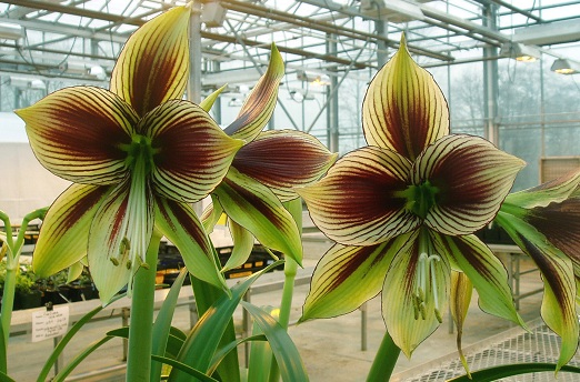 hippeastrum_papilio_butterfly_1.jpg
