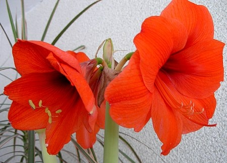 hippeastrum_red_lion.jpg
