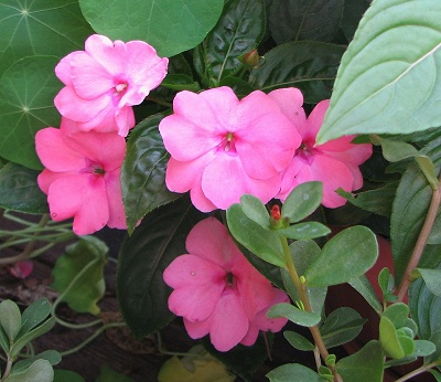 impatiens_new_guinea.jpg