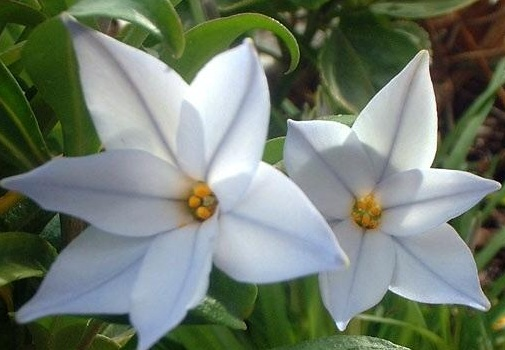ipheion_uniflorum_1.jpg