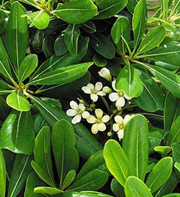 pittosporum.jpg