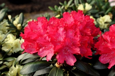 rhododendron_astrid.jpg