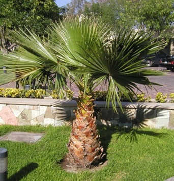 washingtonia_robusta.jpg