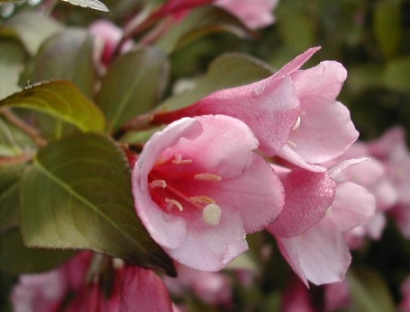 weigela_purpurea.jpg